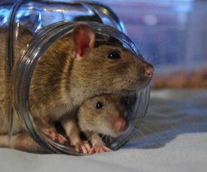 Девочку, живущую с крысами, забрали в центр социальной опеки